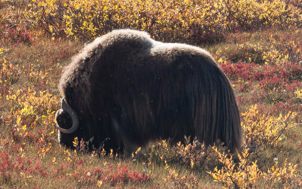 Musk ox on Alaska's North Slope