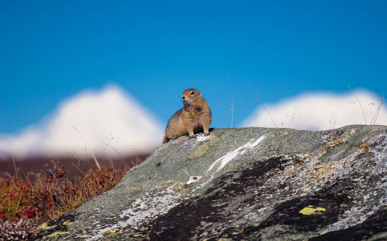 An Arctic Ground Squirrel with the high peaks of the Alaska Rang