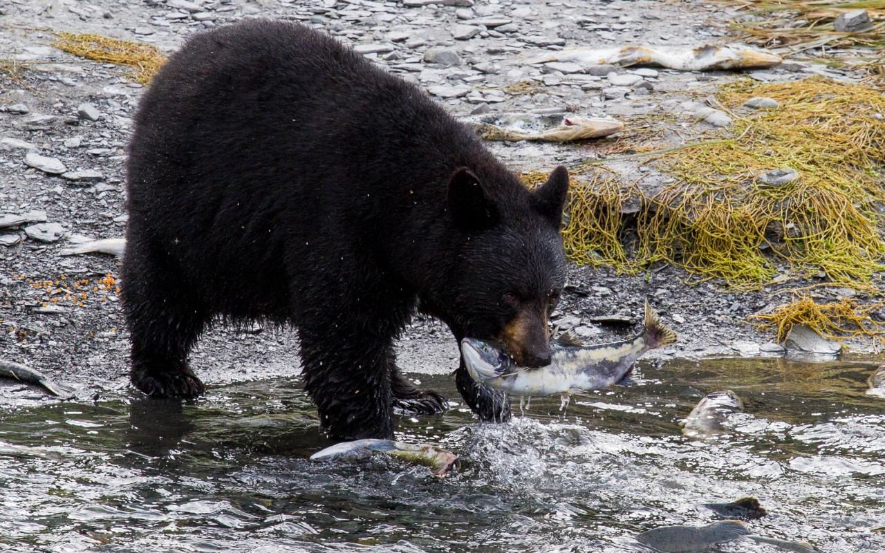 Black bear with a pink salmon near Valdez