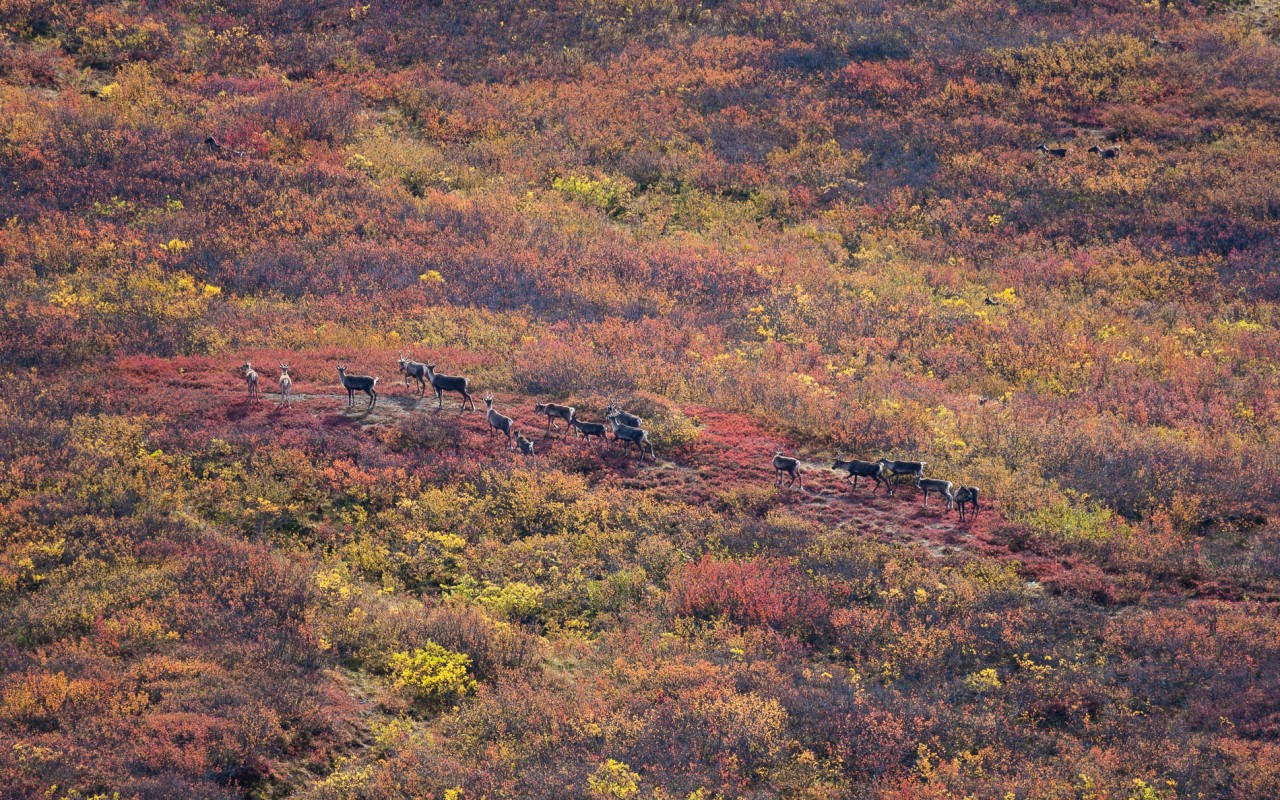 A herd of caribou in the brush near the Denali Highway