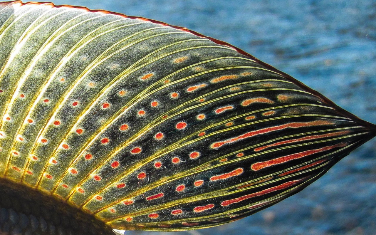 Backlit grayling fin